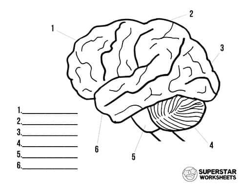 Human Brain Worksheets - Superstar Worksheets