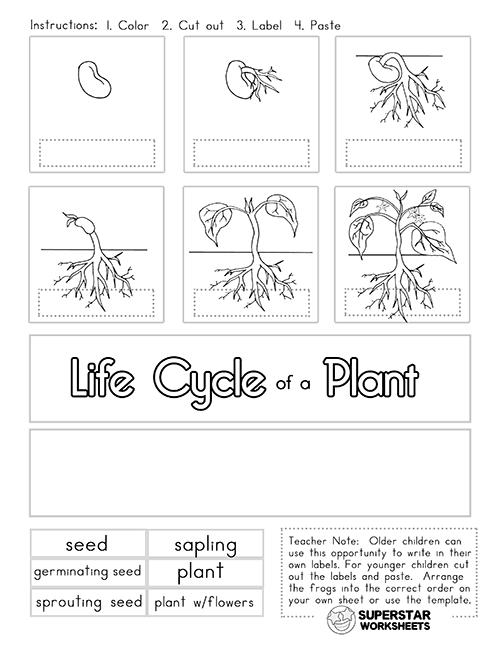 Plant Life Cycle Worksheets - Superstar Worksheets