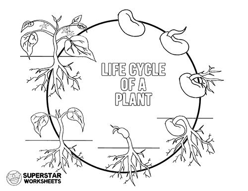 Plant Life Cycle Worksheets Superstar Worksheets