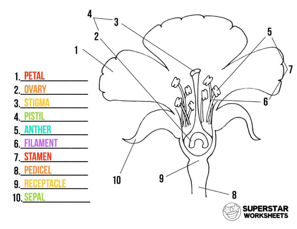 Parts of a Flower Worksheets   Superstar Worksheets