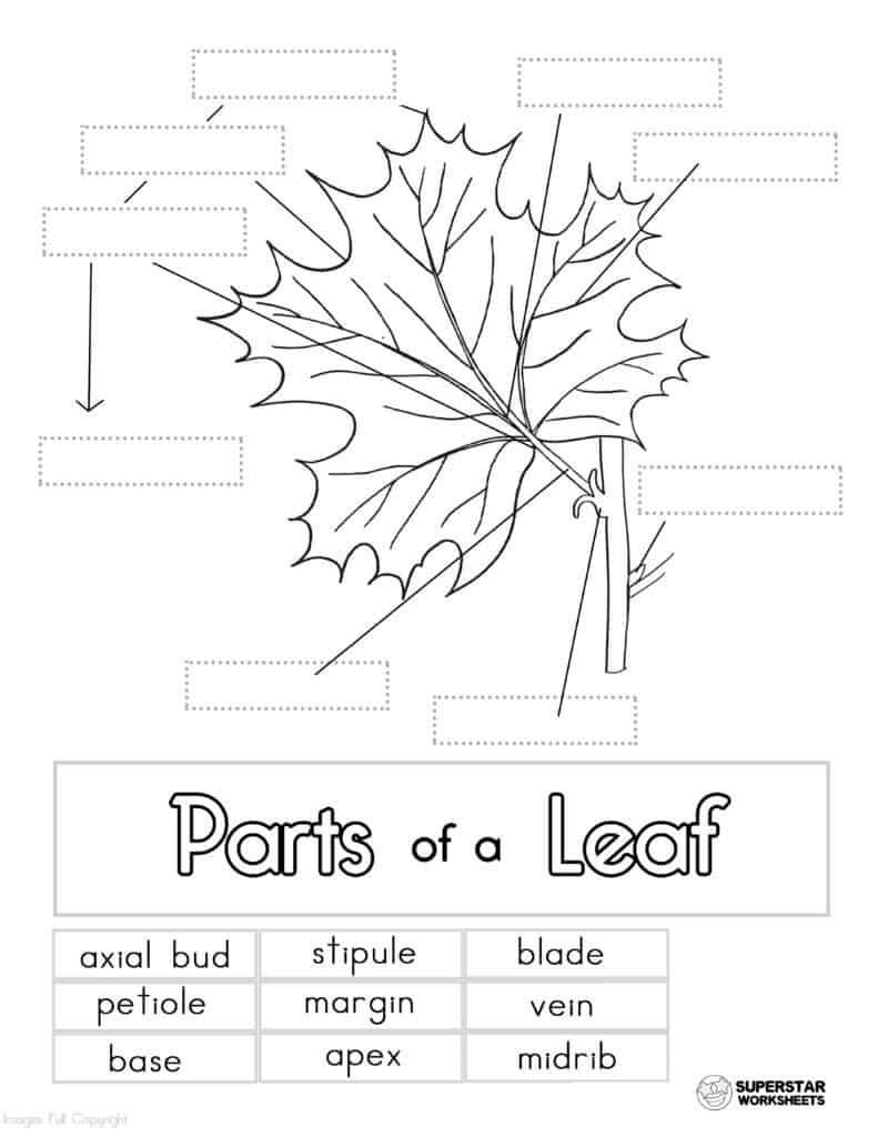 Parts of a Leaf Worksheet - Superstar Worksheets